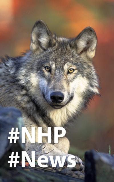 """Neues am Umweltrechts-Blog: """"Der EuGH trifft Klarstellungen zur Wolfsjagd"""""""